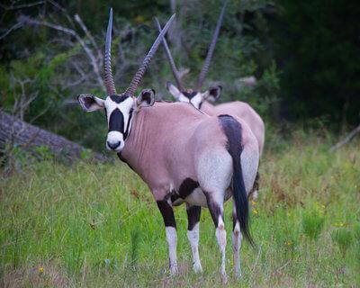 oak creek ranch exotics gemsbok (oryx) hunting