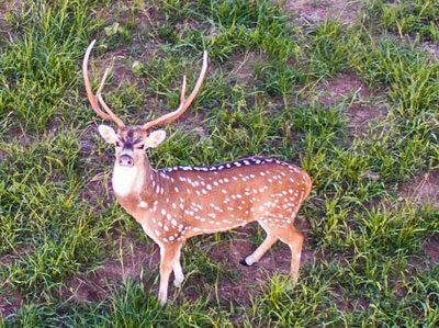 trophy hunts near houston at oak creek ranch in columbus, tx
