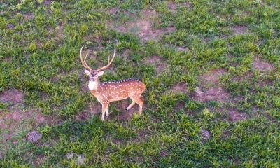 Oak Creek Ranch Axis Trophy Deer Hunt Glry