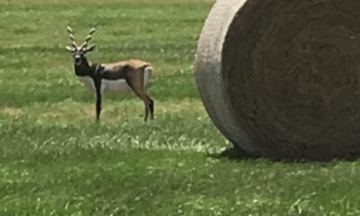Oak Creek Ranch Blackbuck Antelope Hunting Glry
