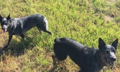 Oak Creek Ranch Dogs Glry