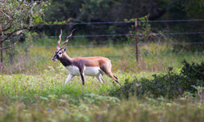 Oak Creek Ranch Exotics Blackbuck Antelope Glry 1