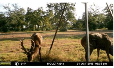 Oak Creek Ranch Red Stag Deer Hunting Glry 1