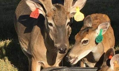 Oak Creek Whitetail Deer Breeding Program Glry